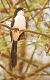 Long-tailed Fiscal Stock Images