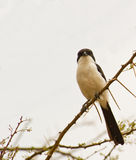 The Long-tailed Fiscal Stock Images