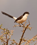 Long-tailed Fiscal Royalty Free Stock Photo