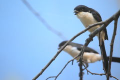 Long-tailed fiscal Royalty Free Stock Photos