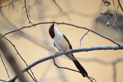 Long-tailed fiscal. Sitting on the branch Stock Photo
