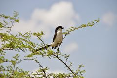 Long-tailed fiscal bird. Is sitting on the bush branch in Nairobi national park in Nairobi Kenya East Africa Stock Photography