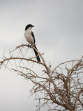 Long-tailed fiscal shrike. A long-tailed fiscal shrike (Lanius cabanisi) atop a thorn tree at Mikumi National Park in Tanzania Stock Images