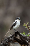 Long Tailed Fiscal Shrike Kenya Africa Stock Photography