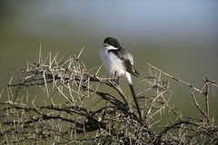 Long-tailed fiscal shrike, Lanius cabanisi Stock Images