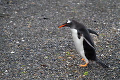 A long-tailed Gentoo penguin Stock Photo