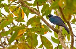 The Long-tailed Glossy Starling Stock Images