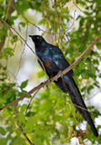 Long-tailed Glossy Starling on a branch. Long-tailed Glossy Starling alighted on a branch Royalty Free Stock Image