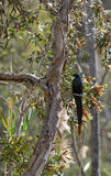 Long-tailed glossy starling. A long-tailed glossy starling perched on the branch of an acacia tree Stock Images