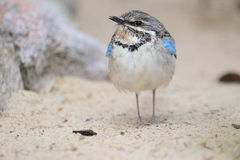 Long-tailed ground roller Royalty Free Stock Photo
