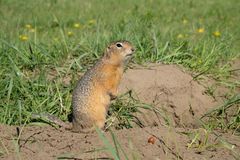 Long-tailed ground squirrel Royalty Free Stock Photos