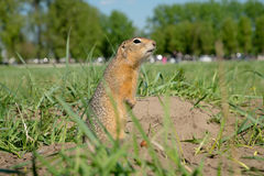 Long-tailed ground squirrel Stock Photography