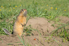 Long-tailed ground squirrel Royalty Free Stock Photography