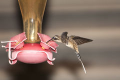 Long tailed hermit at feeder Royalty Free Stock Photography