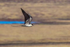 Long Tailed Jaeger Stock Photos