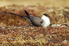 Long Tailed Jaeger Stock Photo