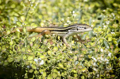 Long-tailed lizard Royalty Free Stock Photography