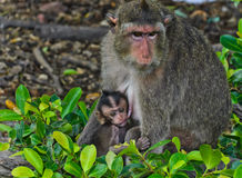 Long-tailed macaque family Stock Image