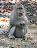 Long-tailed macaque Royalty Free Stock Photography