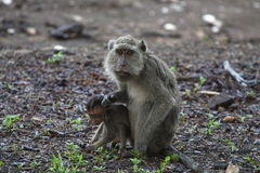 Long tailed macaque. With a baby stock photo