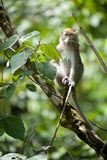 Long tailed macaque Stock Photos