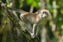 Long tailed macaque. In tropical rainforest looking at camera Stock Photos