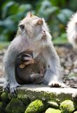 Long-tailed macaque. Close up in a sunny day Stock Photo