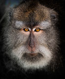 Long-Tailed Macaque. The monkeys within the Sacred Monkey Forest of Padangtegal, Ubud, Bali, are commonly called long-tailed macaques. Their scientific name is Stock Image