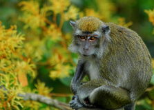 Long-tailed Macaque. Sitting amongst yellow flowers royalty free stock image