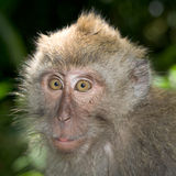 Long tailed macaque. In forest Royalty Free Stock Image