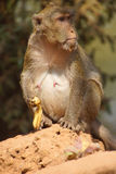 Long tailed macaque Stock Photography