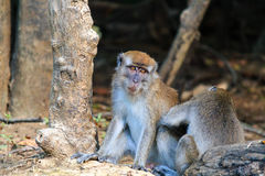 Long tailed Macaque being groomed. A female grooms a male Macaque Monkey in the rain forest stock photos