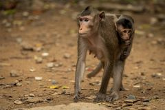Long-tailed macaque carries baby over sandy ground stock images