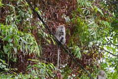 Long-tailed Macaque Crab-eating macaque breastfeeding a baby s. Itting on cable at Fraser's hill, Malaysia, Asia Macaca fascicularis Stock Photo