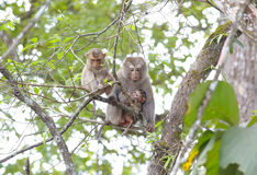 Long-tailed macaque Crab-eating macaque Macaca fascicularis Royalty Free Stock Photo