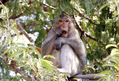 Long-tailed macaque Crab-eating macaque Macaca fascicularis Royalty Free Stock Photos