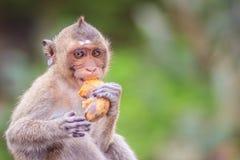 Long-tailed macaque or Crab-eating macaque (Macaca fascicularis) Royalty Free Stock Photos