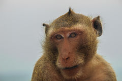 Long-tailed macaque or Crab-eating macaque (Macaca fascicularis) Stock Images