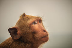 Long-tailed macaque or Crab-eating macaque (Macaca fascicularis) Stock Image