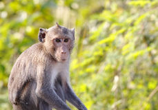 Long-tailed macaque Crab-eating macaque Macaca fascicularis Stock Photo