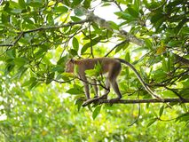 Long-tailed macaque, Crab-eating macaque Stock Photo