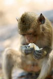 Long-tailed macaque eating a banana Royalty Free Stock Images