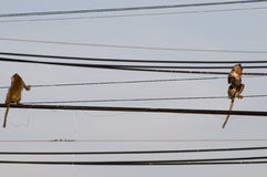 Long-tailed Macaque on electric wires, Thailand. Royalty Free Stock Images
