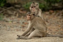 Long-tailed macaque grooming mate on concrete path stock photo