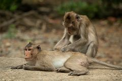 Long-tailed macaque grooms mate on concrete path royalty free stock photos