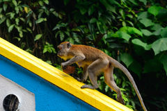 Long-tailed macaque, Gua Batu, Malaysia Royalty Free Stock Images