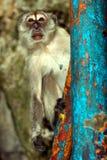 Long-tailed macaque, Gua Batu, Malaysia Royalty Free Stock Photos