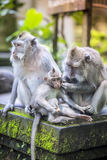 Long Tailed Macaque with her Infant Stock Photo