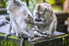 Long Tailed Macaque with her Infant Stock Photography