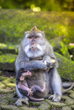 Long Tailed Macaque with her Infant Royalty Free Stock Photos